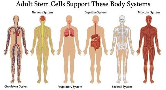 Adult Stem Cell Benefits (v2)